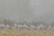 Kraanvogels_2