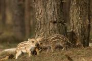 wild zwijn_2